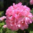 八重咲きのゼラニウム